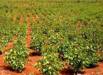 Genetically Engineering Jatropha Plants for Large Scale Production