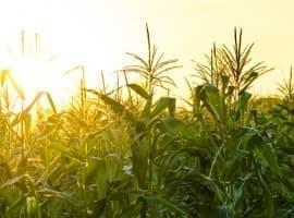 Corn Crisis