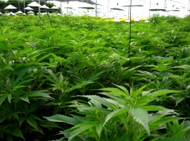 The Global Cannabis Market Is Set To Explode