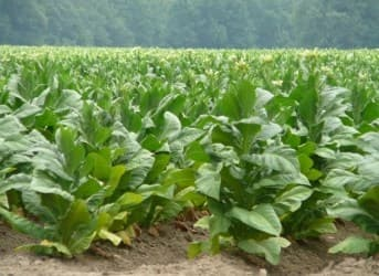 Innovative Ways of Producing Biofuel - Tobacco, Whiskey, and Seaweed