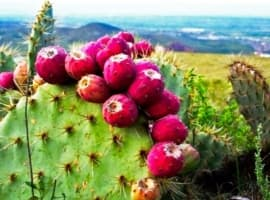 Is Cactus Gas The Future Of Biofuel?