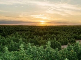 Canadian Oil Patch Grapples With Cannabis Legalization