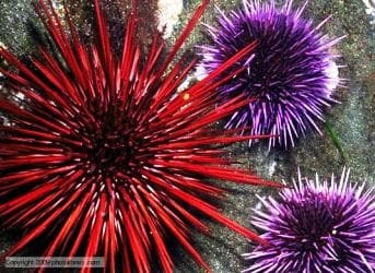 Sea Urchins could Show Scientists the Way to Cheap Carbon Capture