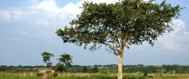 Uganda Tree